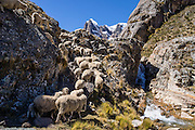 "Sheep flock up the trail by a waterfall in Huanacpatay Valley under Nevado Cuyoc (Puscanturpa Sur, 5550 meters) in Cordillera Huayhuash in the Andes Mountains, Peru, South America. Day 6 of 9 days trekking around the Cordillera Huayhuash. Published in ""Meridiani Montagne Speciale Ande 3"" magazine 10 December 2014 on two thirds of page 70, by Editoriale Domus S.p.A. Milan, Italy."