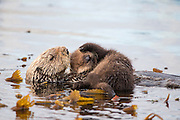Sea Otter<br /> Enhydra lutris<br /> Mother and newborn pup (just six-days-old)<br /> Monterey, California