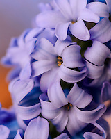 Close up of a hyacinthus