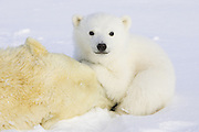 Polar Bear<br /> Ursus maritimus<br /> 3-4 month old cub huddled over mother after mother is anesthetized by polar bear biologists<br /> Wapusk National Park, Canada