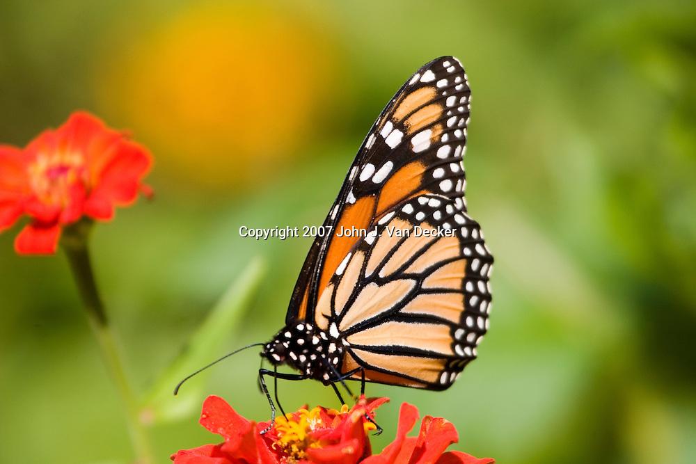 Monarch Butterfly, Danaus plexippus, with wings folded on red flower