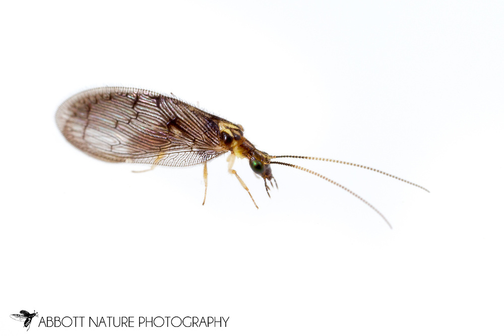 Brown Lacewing (Sympherobius occidentalis)<br /> United States: Alabama: Tuscaloosa Co.<br /> Tulip Tree Springs off Echola Rd.; Elrod<br /> 8-Oct-2016<br /> J.C. Abbott #2873