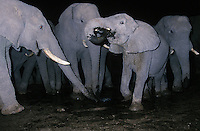 African Elephants (Loxodonta Africana) in mud at night