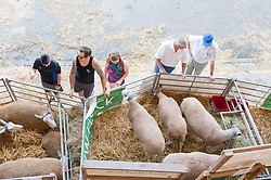 © Licensed to London News Pictures. 23/07/2019. Llanelwedd, Powys, UK. Visitors admire Blue |Faced Leicester sheep on the second day of the 100th Royal Welsh Agricultural Show. Founded in 1904, the Royal Welsh Agricultural Show is hailed as the largest and most prestigious event of its kind in Europe, with in excess of 200,000 visitors usually expected for the annual four day show period. Photo credit: Graham M. Lawrence/LNP
