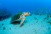 Loggerhead Sea Turtle (Caretta caretta) swims past a shipwreck in Palm Beach County, FL. Florida is home to half of the world's population, and Palm Beach County is a major nesting location.