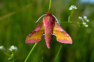 Small Elephant Hawk-moth Deilephila porcellus Wingspan 40-45mm. A beautiful moth with narrow wings and a plump body. Flies May-July. Adult has a pink body and pink and yellowish-buff forewings. Larva feeds on bedstraws. Locally common in southern and central Britain, and in coastal regions further north.