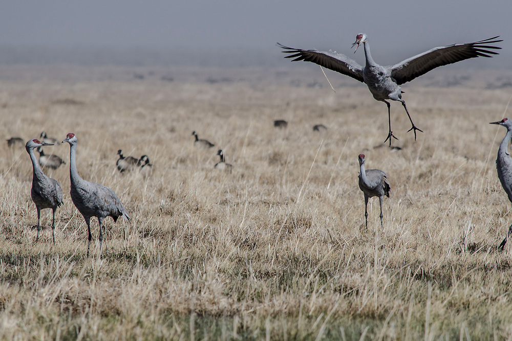 Sandhill Cranes. San Luis Valley, Colorado. <br />