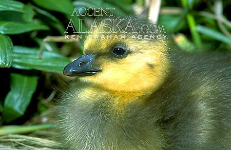 Aleutian Canadian Goose (Branta canadensis leucopareia) Gosling. Inhabits western Aleutian Islands.