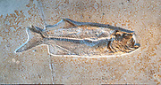 Pachythrissops propterus (Tarpon) Pachythrissops is an extinct genus of ray-finned fish from the Jurassic.