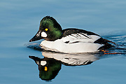 Common Goldeneye, Bucephala clangula, male & female, Muskegon, Michigan
