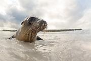 Curious seal at the beach at Española Island, Galapagos   Nysgjerrig sel på badestranda.