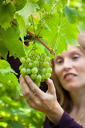 Picking grapes. Vitis vinifera