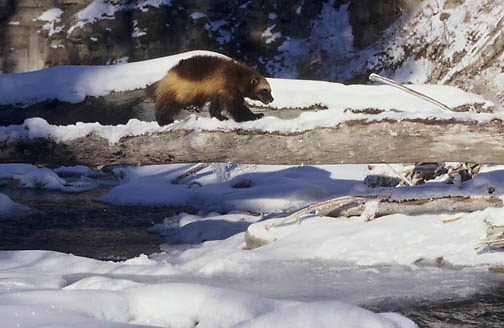 Wolverine, (Gulo gulo) Adult walking across fallen log. Winter. Rocky mountains. Montana.  Captive Animal.