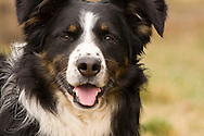 Male Australian Shepherd dog, tri color <br /> PROPERTY RELEASED
