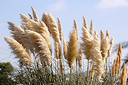 Israel, Negev, close up of a blooming reeds in spring