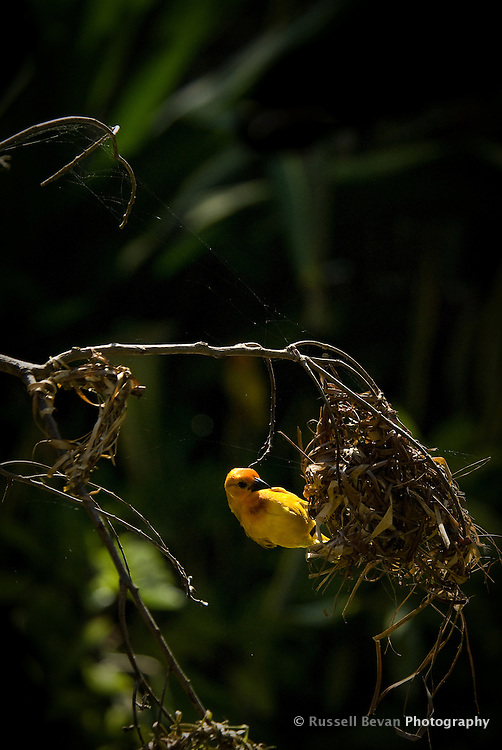 A male Golden Weaver Bird dismantling an old nest in Mombasa, Kenya