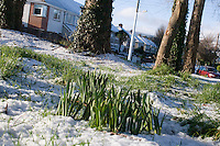 spring bulbs growing in the snow in suburban in Dublin Ireland