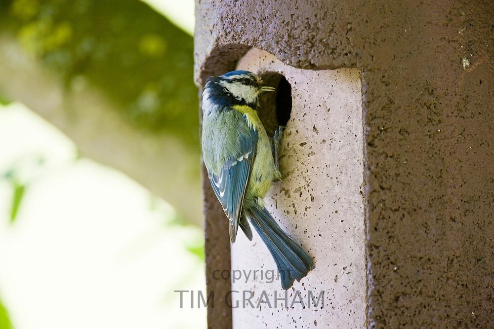 Bluetit bird at a garden bird box, The Cotswolds, Oxfordshire, England, United Kingdom