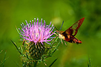 Hummingbird Clearwing Moth on Thistle Bloom. Sourland Mountain Preserve, Summer Nature in New Jersey. Image taken with a Nikon D700 and 28-300 mm VR lens (ISO 200, 300 mm, f/5.6, 1/1000 sec). Raw image processed with Capture One Pro 6, Nik Define, and Photoshop CS5.