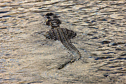 Alligator along Turner River, Everglades, Florida, USA