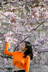 © Licensed to London News Pictures. 11/03/2020. London, UK. A woman poses for photographs under the Cherry tree in St James's Park as it starts to bloom. Photo credit: Dinendra Haria/LNP