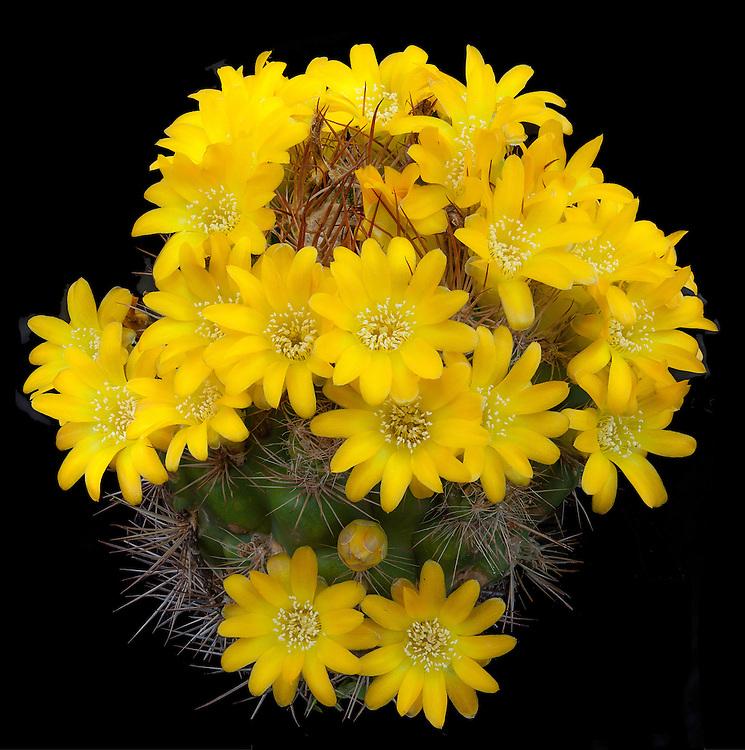 Rebutia neocumingii subsp. neocummingii / #CAC457