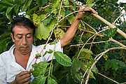 23 OCTOBER 2003 -- TAPACHULA, CHIAPAS, MEX: Workers harvest coffee on a small cooperative near Tapachula, Mexico. World coffee prices have been depressed by over production in Brazil and Vietnam and thousands of coffee farmers in Mexico and Guatemala have been forced to emigrate to the US as undocumented workers because of the crisis in the coffee industry.  PHOTO BY JACK KURTZ