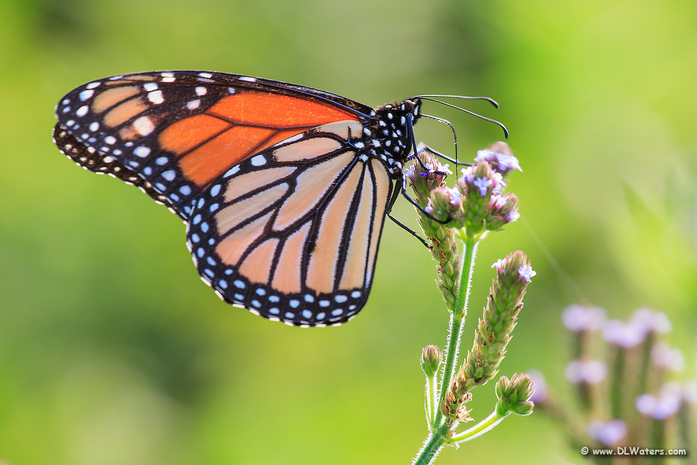 Close-up of a monarch butterfly with its wings folded resting on a flower.