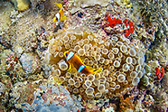 Red sea Clown fish (Amphiprion bicinctus)