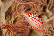 Longnose hawkfish (Oxycirrhites typus) in sea fan, Raja Ampat, West Papua, Indonesia, Pacific Ocean  [size of single organism: 6 cm] | Langschnauzen-Korallenwächter oder Langschnauzen-Büschelbarsch (Oxycirrhites typus)