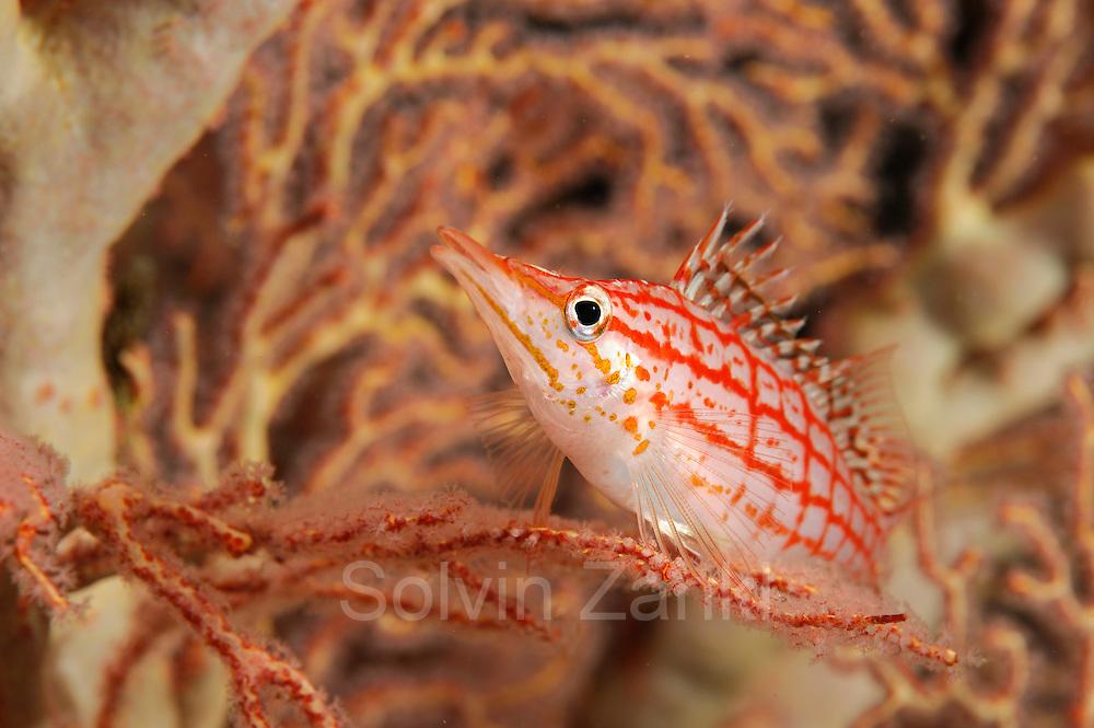 Longnose hawkfish (Oxycirrhites typus) in sea fan, Raja Ampat, West Papua, Indonesia, Pacific Ocean  [size of single organism: 6 cm] | Langschnauzen-Korallenwächter oder Langschnauzen-Büschelbarsch (Oxycirrhites typus)