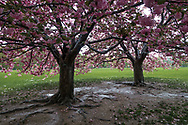 Cherry blossoms on the Great Lawn in Central Park