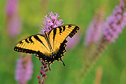 Yellow Swallowtail on Blazing Star - Mississippi