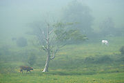 A thick Spring sea fog rolled in from the Menai Strait over Beaumaris town and the lush farmland behind. Visibility changed constantly and during a clearer moment I caught a glimpse of these non-phased cattle going about their business as I just stood in awe at this incredible weather phenomenon.