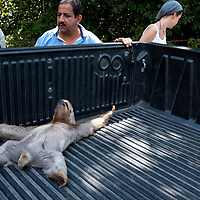 Costa Rica, Manuel Antonio National Park, Three-toed sloth (Bradypus variegatus) lies injured in bed of park service pick-up truck