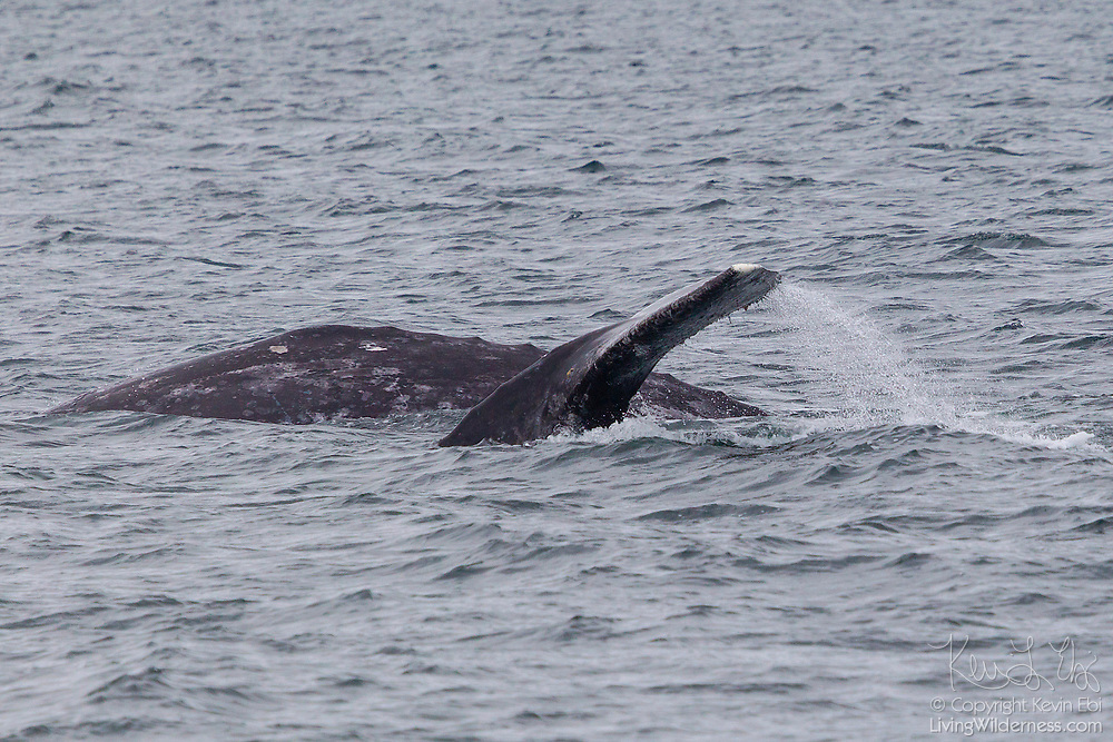 A pair of gray whales (Eschrichtius robustus) swim in Puget Sound near Everett, Washington.