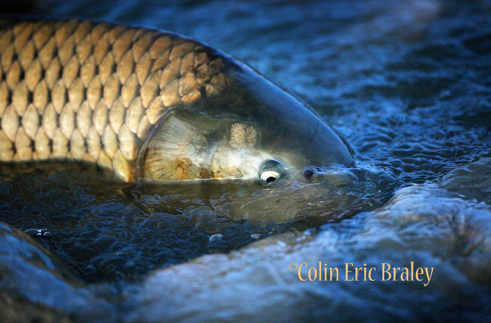 A Common Carp swims the shallows in an attempt to run upstream on the Bear River in northern Utah, April 27, 2008. Colin Braley / Wild West Stock