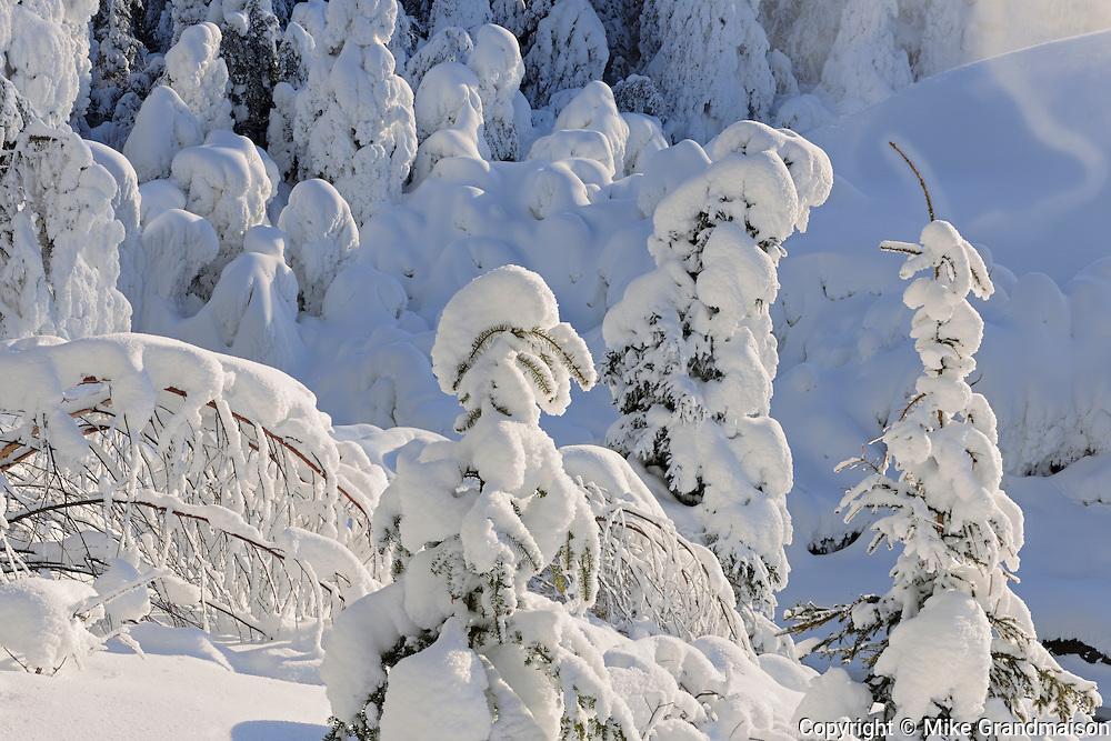 Snow covered trees<br /> Pisew Falls Provincial Park<br /> Manitoba<br /> Canada