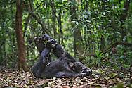 Toti, male chimpanzee who is challenging the alpha male for leadership of his tribe, Kibale National Park, Uganda / Toti, chimpancé macho que está retando al macho alfa por el liderazgo de su tribu, Parque Nacional Kibale, Uganda