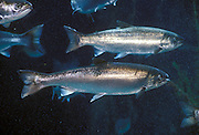 Coho salmon (Oncorhynchus kisutch) photographed in their ocean going state in captivity.