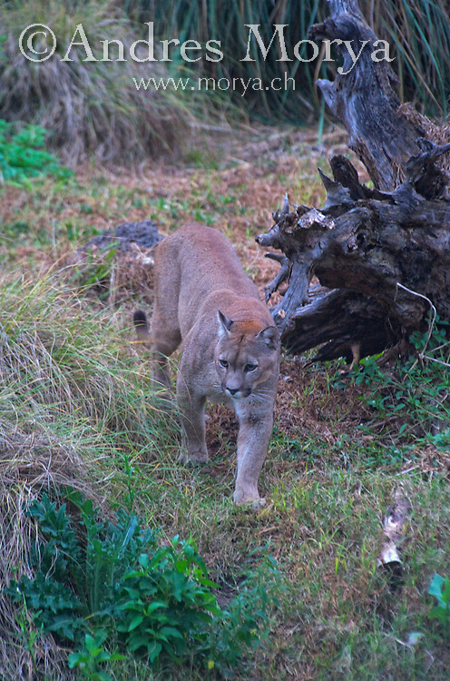 Cougar (Puma concolor), also known as puma, mountain lion, mountain cat, catamount or panther, Argentina. Image by Andres Morya