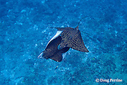 courtship of spotted eagle rays, Aetobatus narinari, male bites female on back and attempts to mate with her, Ice Cream bommie, Saipan, Commonwealth of Northern Mariana Islands, Micronesia ( Western Pacific Ocean )