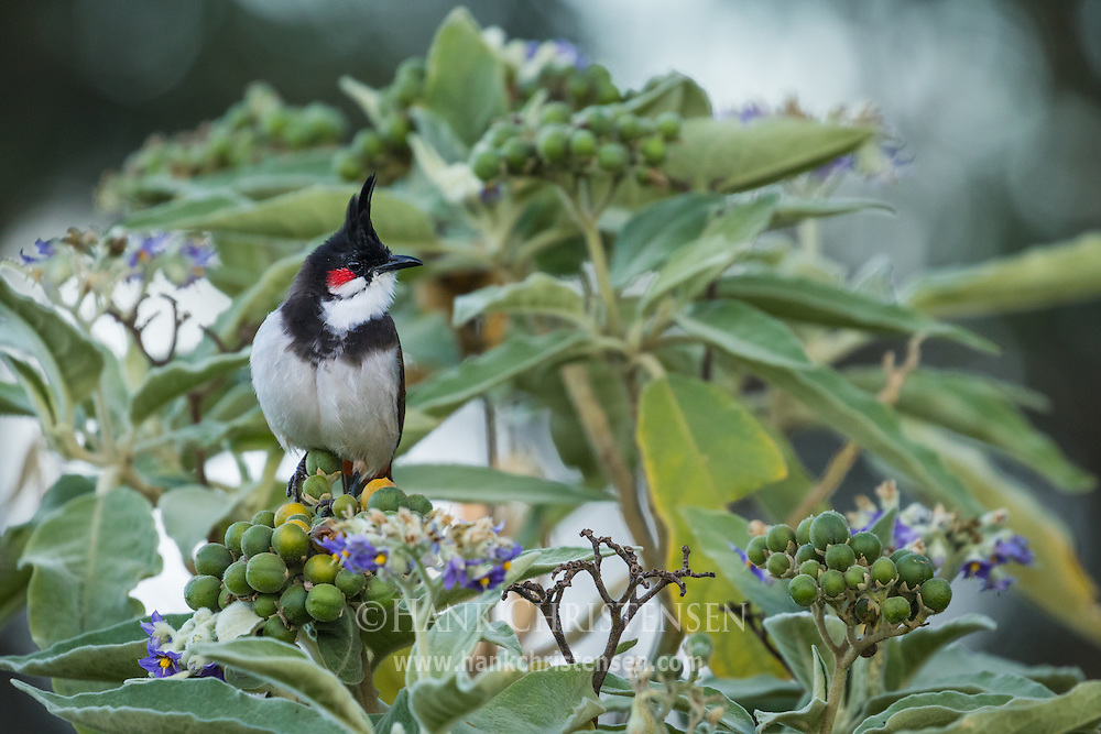 A red-whickered bulbul perches on a berry busy in pre-dawn light, Ooty, Tamil Nadu, India.