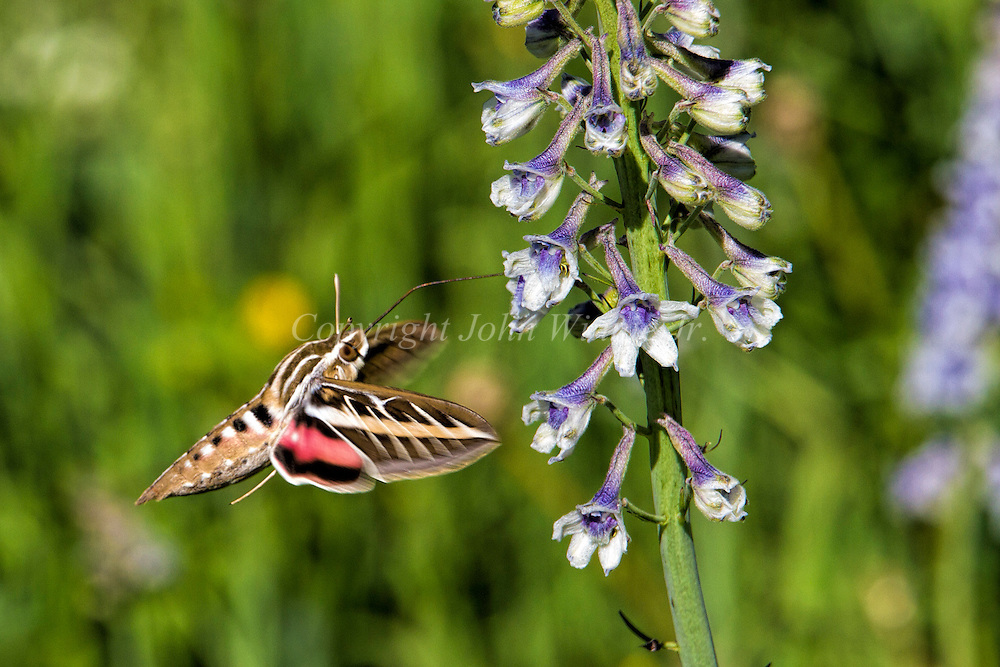 White-lined Sphinx moth, hummingbird moth, Bridger Mountains, Montana