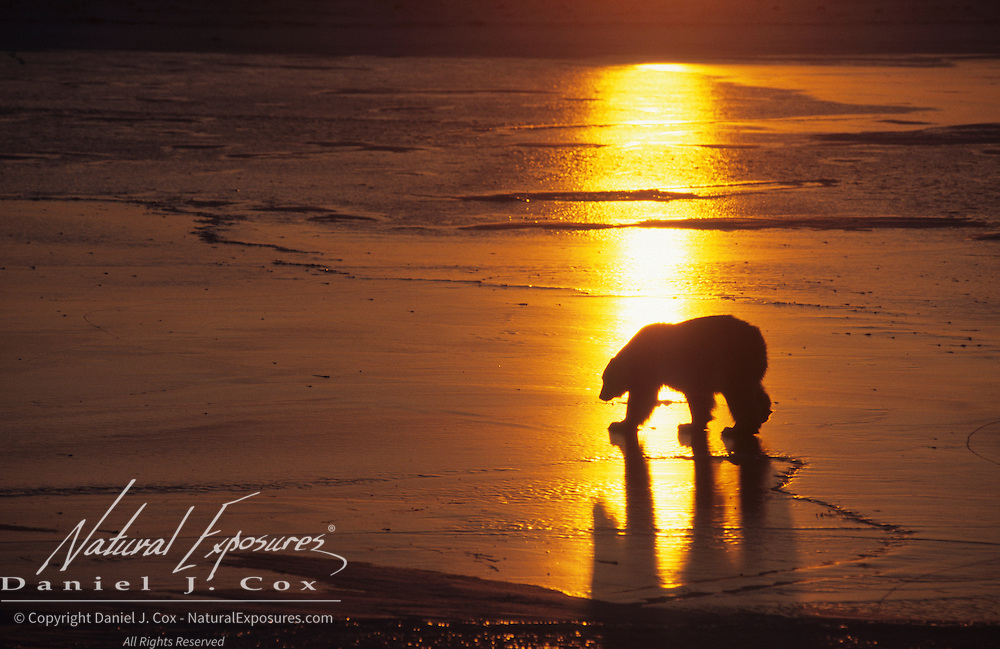 Polar Bear (Ursus maritimus) on the frozen ice of Hudson Bay during sunset. Canada