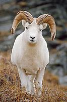 Dall Sheep Ram (Ovis dalli) along Denali Park Road; Denali National Park near Polychrome Pass; Alaska