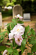 A tombstone surrounded by blooming roses in the Saint Philips Episcopal Church Cemetery along Church Street in historic Charleston, SC.