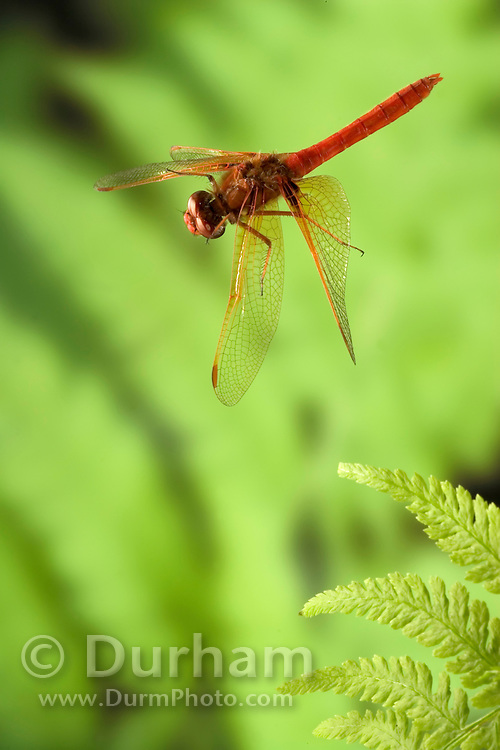 A male red-veined meadowhawk dragonfly (Sympetrum madidum) in flight in the coastal mountains of Oregon. Photographed with a high-speed camera.