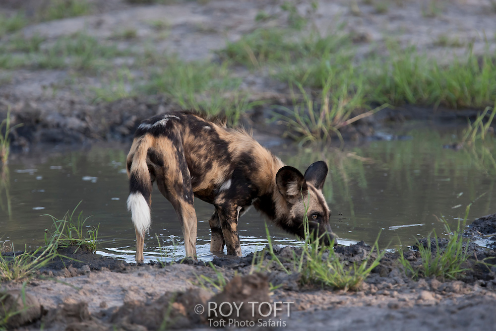 An African wild hunting dog stops for a drink at the water's edge, Botswana, Africa