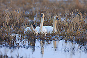 Three tundra swans (Cygnus columbianus) swim and feed on grass in the Ridgefield National Wildlife Refuge in Ridgefield, Washington. Hundreds of swans spend part of the winter there.